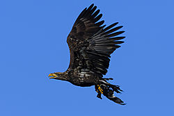 Eagle_and_Coot_2.jpg