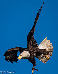 Eagle_in_Action-16.jpg