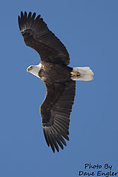 Eagle_in_flight.jpg