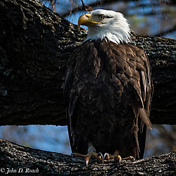 Eagle_in_the_Tree-1.jpg