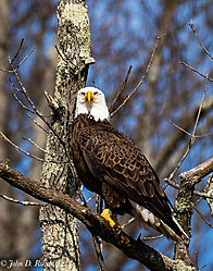 Eagle_on_the_James-1.jpg