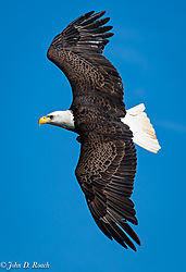 Eagle_on_the_James-13.jpg
