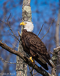 Eagle_on_the_James-2.jpg