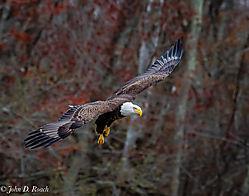 Eagle_on_the_Move.jpg