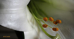Easter_Lily1.jpg