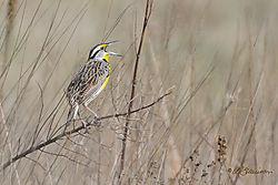 Eastern-Meadowlark-2-_-web.jpg