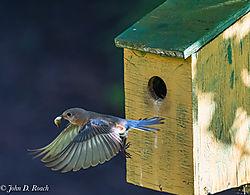 Eastern_Blue_Bird_Nesting_Activity-First_Group-9.jpg