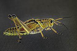 Eastern_Lubber_Grasshopper.jpg