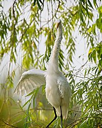 Egret-_please_step_this_way_09012019159_copy.jpg
