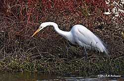 Egret-in-the-Thicket-PPW.jpg