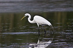 Egret_with_crab.jpg