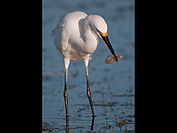 Egret_with_shrimp_copy.jpg