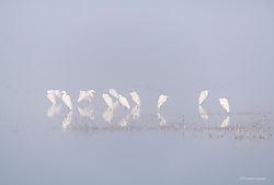 Egrets_in_Fog_San_Joaquin_Valley_Wetlands_copy.jpg