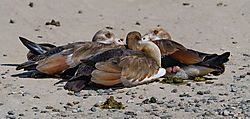 Egyptian_Geese_1_of_1_.jpg