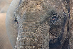 Elephant-Stare_72x1800_DRA4419.jpg