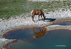 Elk-Reflection-In-Yellowstone-PPW.jpg
