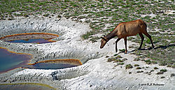 Elk-in-Hot-Springs-At-Yellowstone-PPW.jpg
