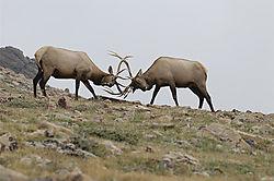 Elk_Sparring-Natural.jpg