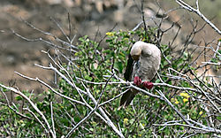 Elusive-Red-Footed-Booby-PPW.jpg