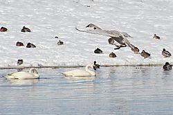Every_Swan_Duck.jpg