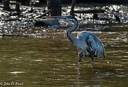 Eye_on_the_Fish_-_Blue_Heron.jpg