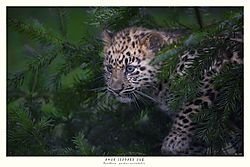 FINAL_AMUR_LEOPARD_CUB_1_copy.jpg