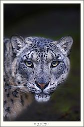 FINAL_PORTRAIT_SNOW_LEOPARD.jpg