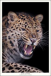 FINAL_TILED_MALE_AMUR_LEOPARD.jpg