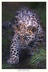 FINAL_TITLED_AMUR_LEOPARD_CUB.jpg