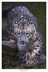 FINAL_TITLED_SNOW_LEOPARD-13.jpg