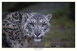 FINAL_TITLED_SNOW_LEOPARD.jpg