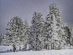 FIR_TREES_NIK_D850036.jpg
