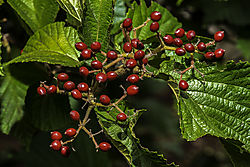 Fall_Berries_Nik_2_3.jpg