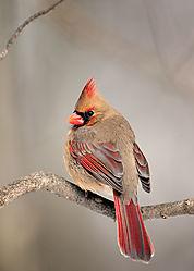 Female-Cardinal-winter-09-web.jpg