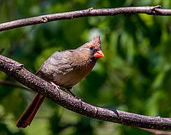 Female_Cardinal8.jpg