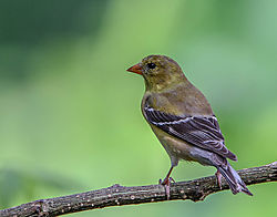 Female_Goldfinch_5-29.jpg