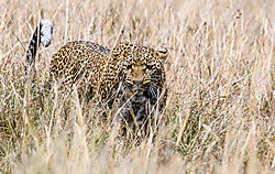 Female_Leopard_in_Maasai_Mara.jpg