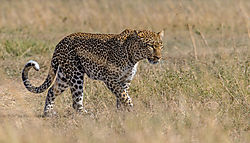 Female_Leopard_on_the_prowl_in_Maasai_Mara.jpg