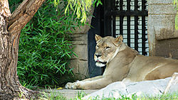 Female_Lion_Tulsa_Zoo.jpg