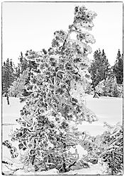 Fir_Tree_in_Yellowstone_NIK.jpg