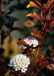 Fire_bush_blossom_02_Sm.jpg