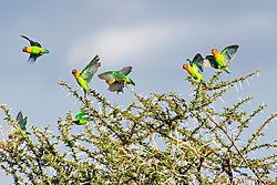 Fischers-Lovebirds_72x1500_DRA1278.jpg