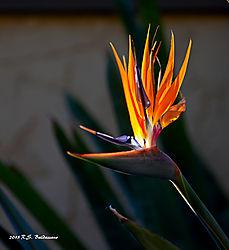 Flaming-Bird-of-Paradise-2-PPW.jpg