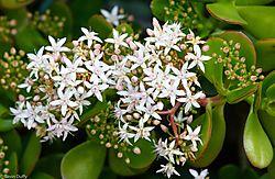 Flowering_Succulent_1_of_1_.jpg
