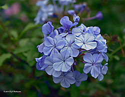 Flowers-at-Larco-Museum-Gardens-Lima-2-PPW.jpg