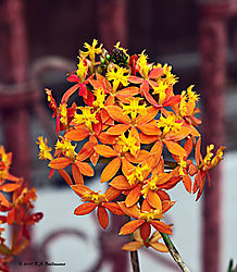 Flowers-at-Larco-Museum-Gardens-Lima-PPW.jpg