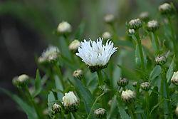 Flowers61520062006-06-15.JPG