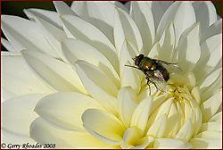 Fly_on_Dahlia.jpg