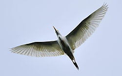 FlyingEgret.jpg