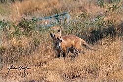 Fox_in_the_open_space_08192020.jpg